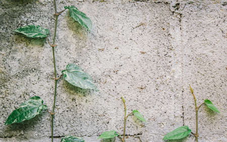 long: Wall background texture with long pepper vines Stock Photo