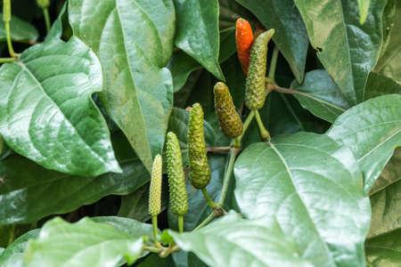 piper: Long Pepper or Piper longum Stock Photo