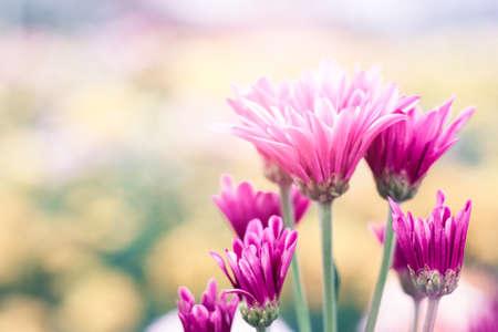 Purple Chrysanthemum Flower in Garden