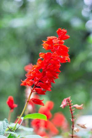 Beautiful Scarlet sage flower in the garden