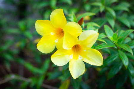 Allamanda, Golden trumpet, Yellow bell (Allamanda cathartica L.) in the garden Banco de Imagens