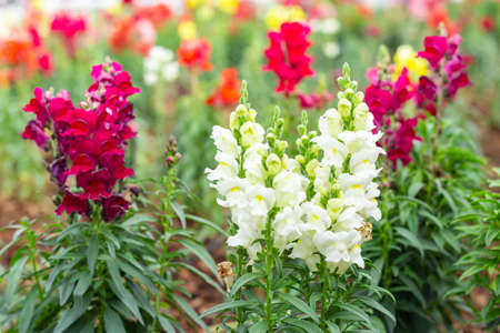 Antirrhinum flowers in garden.