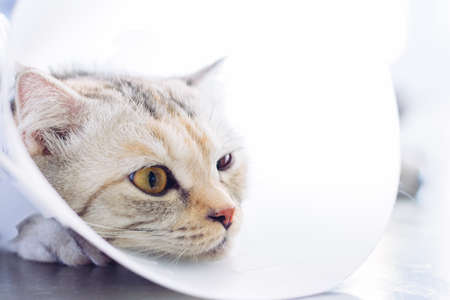 Sick cat. Cat wearing a protective buster collar (also known as an elizabethan Collars) Stock Photo