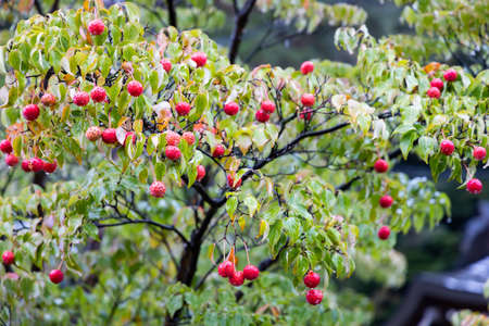 Cornus kousa, Kousa Dogwood fruit in the rainy day