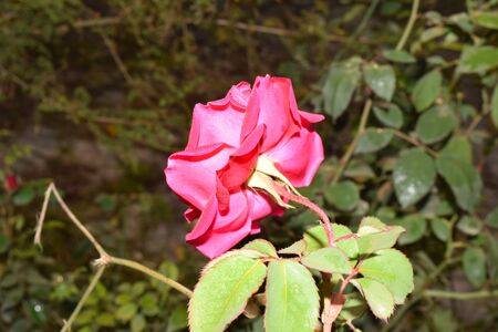 dewdrop: Dewdrop Rose Back Stock Photo