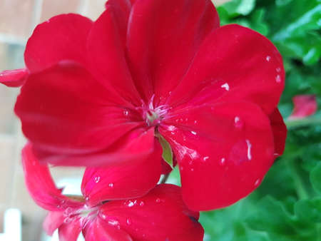A beautiful red blooming flower in the summer 写真素材 - 106544691
