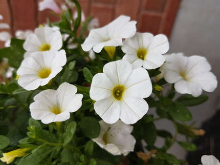 Beautiful white blooming flowers in the summer 写真素材