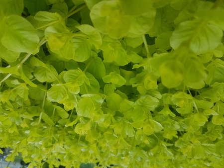 Lush green fresh leaves 写真素材 - 106544693
