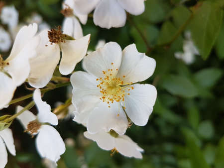 Beautiful white blooming flowers in the summer 写真素材 - 106544696