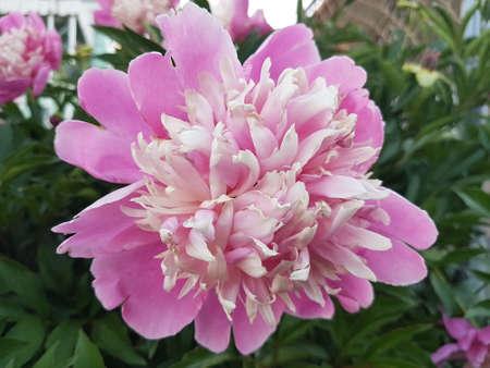 Beautiful pink blooming flowers in the summer 写真素材 - 106544697
