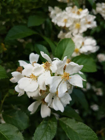 Beautiful white blooming flowers in the summer 写真素材 - 106544703