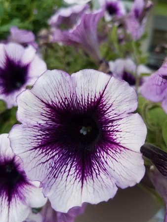 Beautiful purple blooming flowers in the summer 写真素材