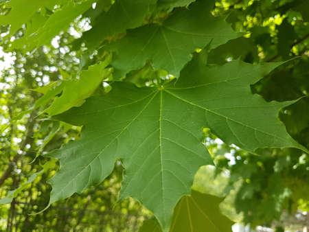 Lush green maple leaves