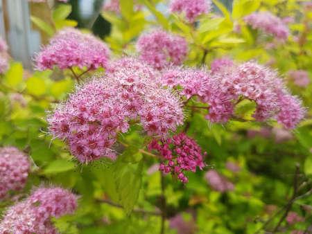 Beautiful pink blooming flower in the summer 写真素材 - 106545536