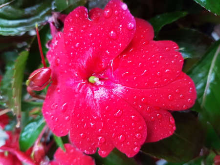 Beautiful red blooming flower in the summer 写真素材 - 106545556