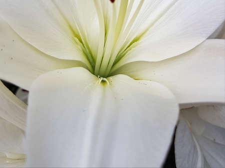 Beautiful white flower in the summer season 写真素材 - 106582692