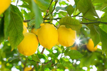 Fresh organic lemons on tree in the orchard, harvesting, picking