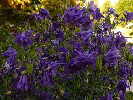 vegetal: Blue columbines