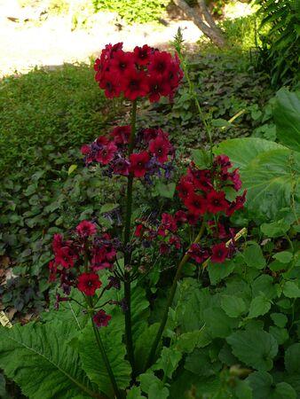 Red primrose Stock Photo - 40230904