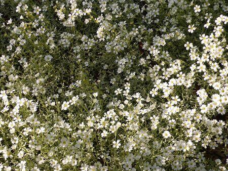 vegetal: Cerastium Stock Photo