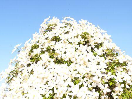 vegetal: White Clematite Stock Photo