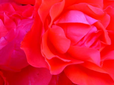rose-bush: zbliżenie róża, w krzak róży Zdjęcie Seryjne