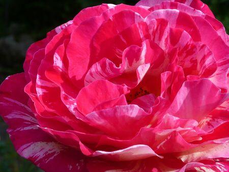 rose-bush: Zbliżenie róża, w krzak róży