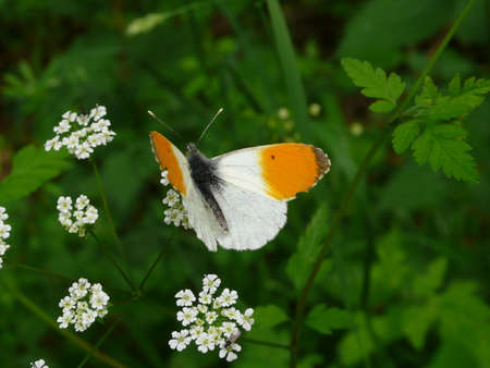 Butterfly orange tip (Anthocharis cardamines) , on a flower Stock Photo