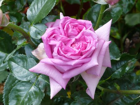 Closeup rose, in a rosebush Stock Photo - 41691182