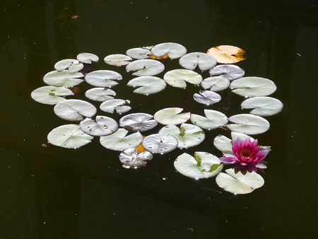 water lily, in a pool