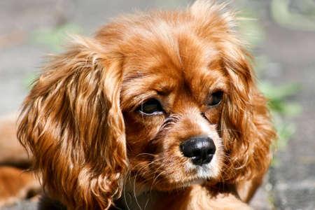 Ruby (Tan) Cavalier King Charles Spaniel Puppy Reklamní fotografie - 5533774
