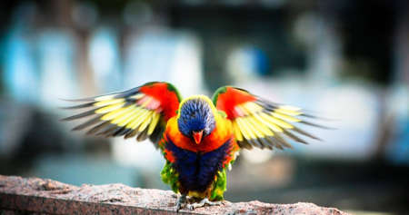Colorful Australian Eastern Rosella with Wings Outstreached photo