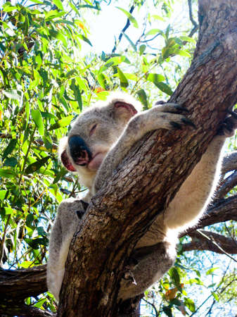 Koala Asleep in a Gum Tree photo