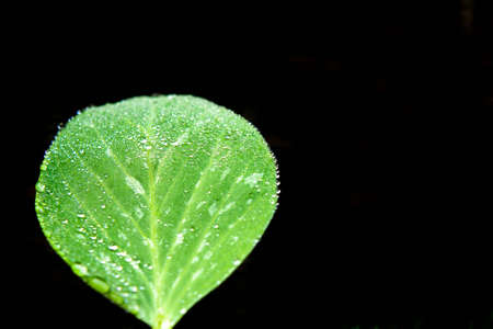 A Snow Pea Leaf with Drops of Dew Isolated over Black Stock Photo - 5608282