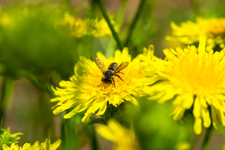 The bee landing on the yellow dandelion Stock Photo