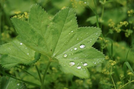 Leaf of ladys mantle (Alchemilla vulgaris L.) with early dew drops  photo