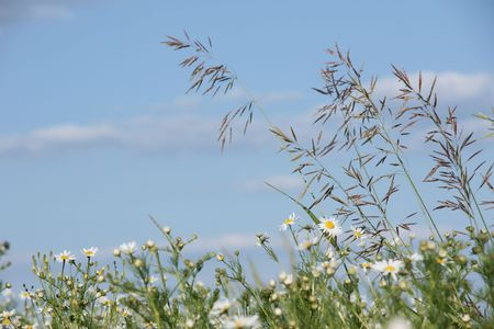 Chamomile  meadow on sky background    Stock Photo - 7291314