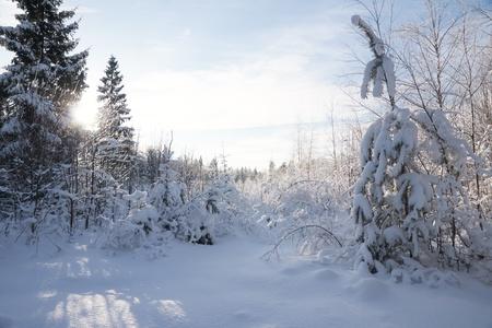 Winter forest landscape    Stock Photo - 8701063