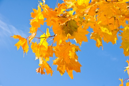 Fall maple leaves in autumn against the blue sky