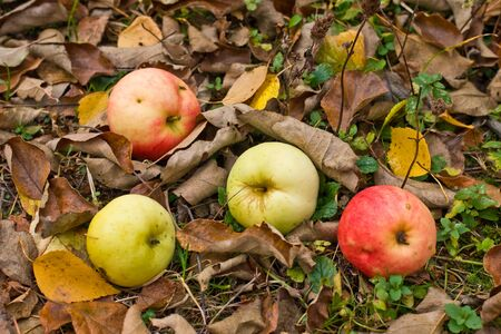 Apples on grass and leaf background in autumn