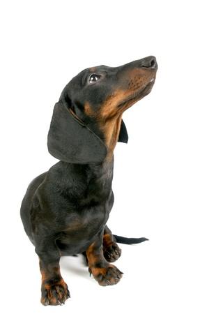 Dachshund puppy, 4 months old Stock Photo - 12929324