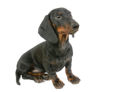 Dachshund puppy, 4 months old Stock Photo - 12929323