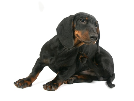 Dachshund puppy, 4 months old, portrait on a white background Stock Photo - 14411427