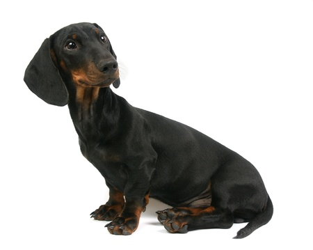 Dachshund puppy, 4 months old, portrait on a white background