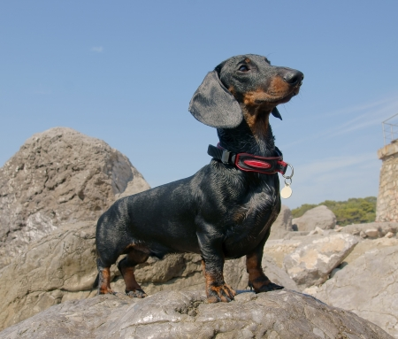 Dachshund puppy, 9 months old,   on stone after swimming in the sea Stock Photo