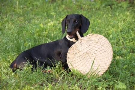 Dachshund puppy, 7 months old,  holding straw  fan  Stock Photo