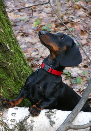 Young black and tan dachshund in autumn forest Stock Photo - 16389328