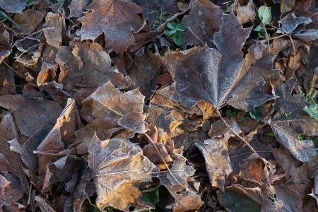 Frozen leaves in late fall