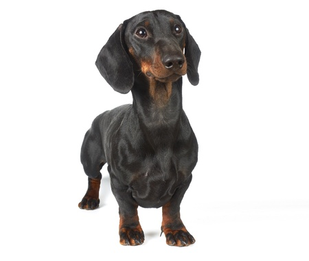 Young black and tan dachshund  photo