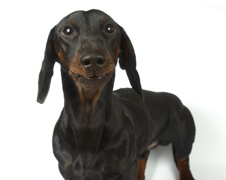 Young black and tan dachshund  Stock Photo - 17195823